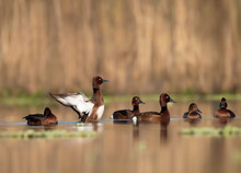 Ferruginous Duck  Family In Lakeside