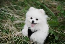 White Pomeranian Dog Lying On Grass