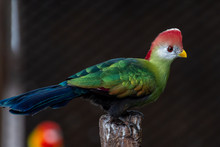A Red-crested Turaco (Tauraco ...