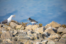 Eurasian Oystercatcher And Seagull On The Rocks