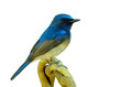 Beautiful blue bird lonely perching on twisted branch isolated on white background, Hainan blue flycatcher (Cyornis hainanus)