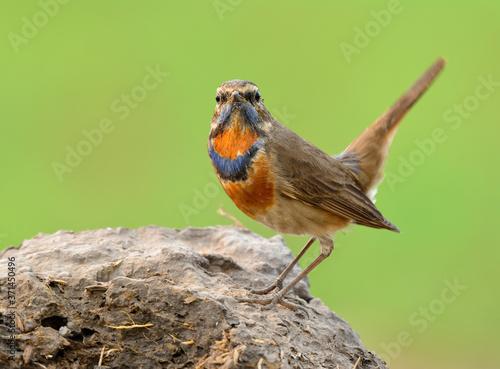 Blue throat (Luscinia svecica) beautiful brown bird with blue and orange feather Fototapete