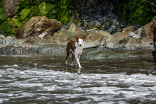 Wet Border Collie Dog Playing In The Ocean Water At Luffenholtz Beach