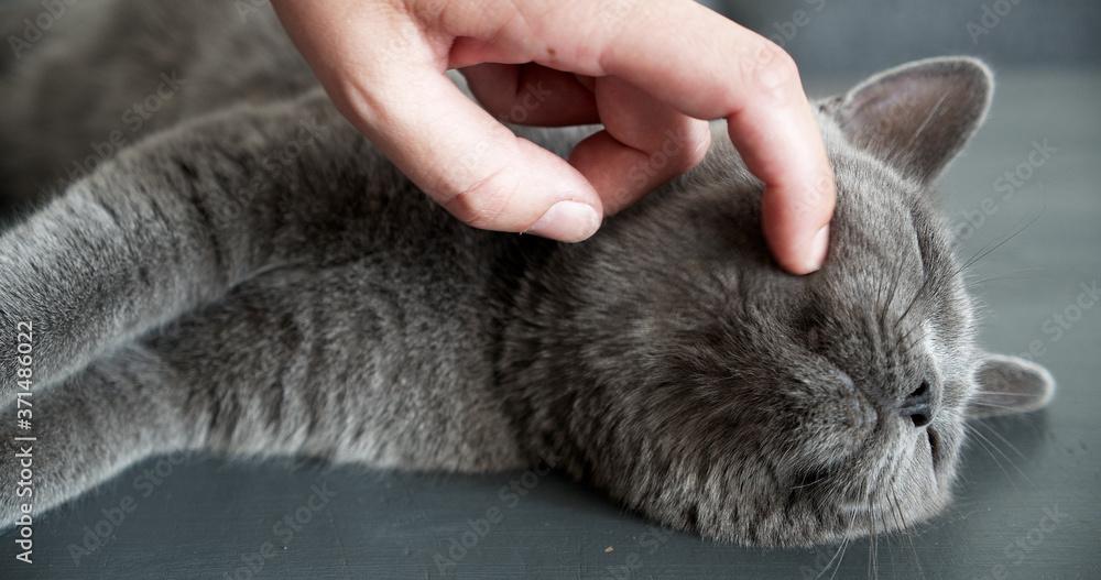 Fototapeta Beautiful British shorthair cat is petted