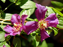 Flowers Ornamental Plants Called Clematis That Often Grows On Balconies And Gardens In The City Of Białystok In Podlasie In Poland