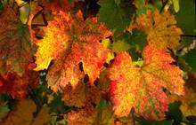 Red Leaves On Vineyard In Tusc...