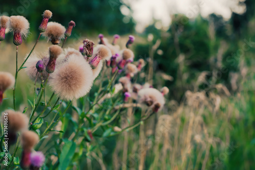 Obraz na plátně Thistles with fluff growing on a green field, natural background