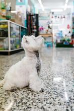 West Highland White Terrier Sitting On Tiled Floor In Pet Salon