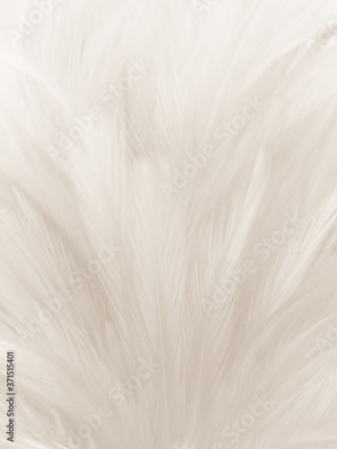 Beautiful abstract gray and white feathers on white background, soft brown feath Fototapete