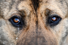 Middle-Asian Shepherd Close-up Brown, Looks Wistfully And Cries. Sad Dog With Tears In His Eyes. A Large Breed Dog Looks Sad With A Tear In Its Eye. Brown Dog Eyes Close Up