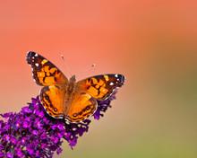 American Lady (Vanessa Virginiensis) Butterfly Feeding On Butterfly Bush Flowers