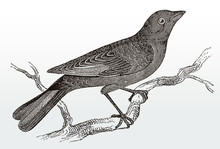 Brown-headed Cowbird, Molothrus Ater Sitting On A Branch, After An Antique Illustration From The 19th Century