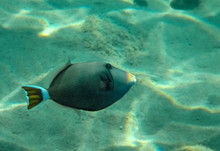 Bluethoat Triggerfish, Scientific Name Is Sufflamen Albicaudatus, It Belongs To The Family Balistidae And Has 3 Spines On Dorsal Fin, It Inhabits The Red Sea And Bay Of Oman