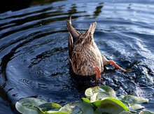Bottoms Up, Duck!