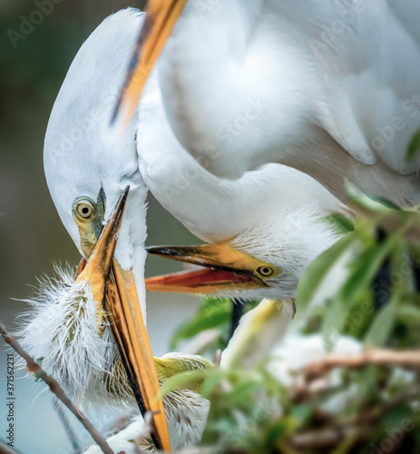 Great egret feeding its young, great egret feeding its young, Mother's Day in th Canvas Print