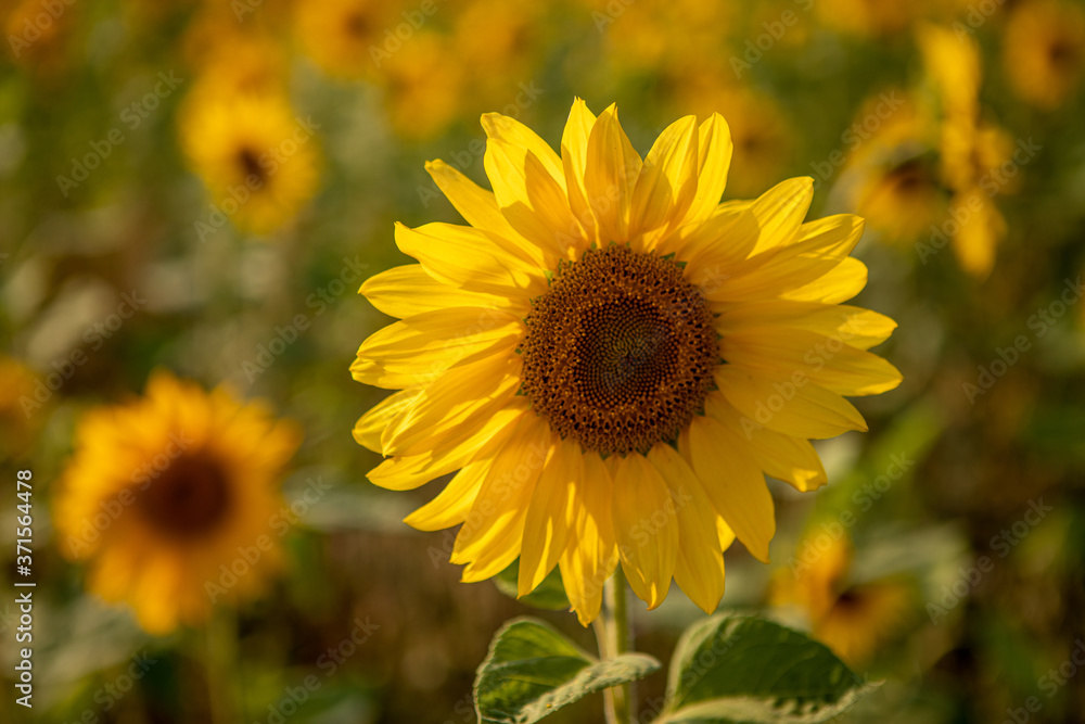 close-up of a sunflower standing in a field of sunflowers and the sky is blue