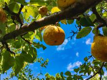 Two Ripe Juicy Yellow Pears Gr...
