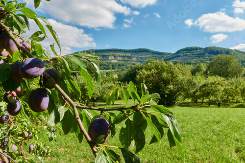 Obraz na plátně Purple plums (Prunus domestica) on a brown branch with green leaves, in the background high hills and blue sky with white clouds