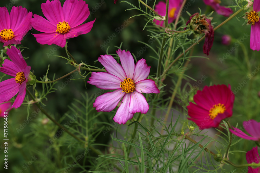 Flowers - Cosmos flowers blooming in the garden