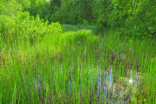 Marsh Plants In The Water Ecos...