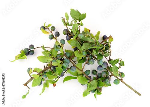 Fototapeta Sloe berries from the blackthorn bush used for making sloe gin and jam