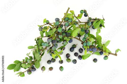 Fotografie, Obraz Sloe berries from the blackthorn bush used for making sloe gin and jam