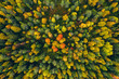 Aerial top view of  yellow and orange autumn trees in forest in rural Finland.