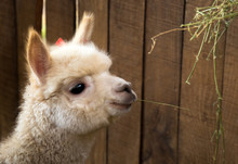 White Alpaca With A Brown Eyes...