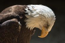 Closeup Of An American Bald Eagle (scientific Name Haliaeetus Leucocephalus)