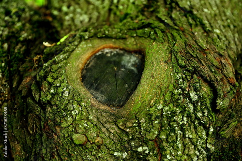 Fototapeta Piękna struktura kory drzewa z sękiem w jej centrum