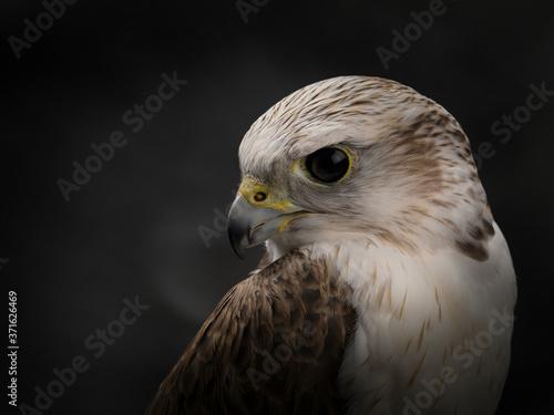 Fotografie, Tablou Saker falcon portrait. Close-up of the muzzle of a Saker Falcon.