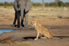 Lioness Sitting By A Waterhole Side View With Elephant In The Background In Botswana