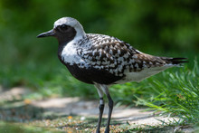 A Close Up Of A Grey Plover (Pluvialis Squatarola), Known As The Black-bellied Plover In North America, On Green Background Showing Summer Plumage.