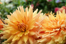 Orange Decorative Dahlia 'hamari Gold' In Flower