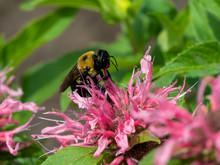 Bumblebee Pollinating A Pink Bee Balm Flower Bloom In The Garden In Summer.  Insect Wildlife In Nature.