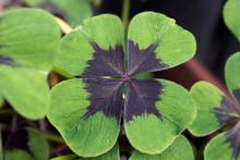 Clover Flower Of Good Luck Clo...