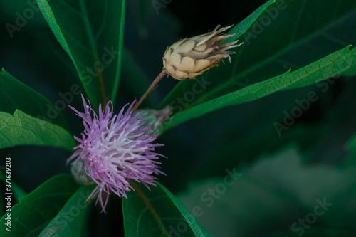 Fototapeta oset makro zieleń fiolet liście  obraz
