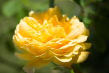 Beautiful Open Yellow Rose. Close-up