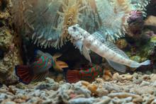 Mudskipper Fish In The Sea