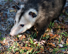 Opossum Animal Stock Photos. Opossum Head Close-up Profile View Displaying Its Head, Ears, Eyes, Nose, Paws  In The Field Environment And Surrounding. Picture. Image. Portrait.