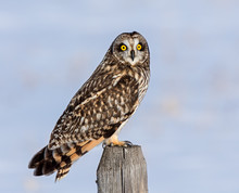 Short-eared Owl Perched During A Winter's Evening.