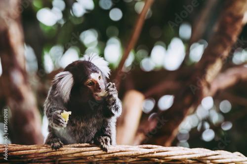 Fotografering Portrait d'un adorable singe ouistiti à pinceaux blancs ou callithrix jacchus