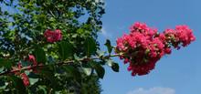 Blooming Pink Crepe Myrtle Against Blue Sky.