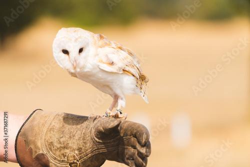Fotografie, Tablou Barn Owl Bird Of Prey Falconry Display