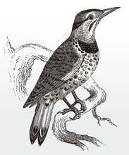 Northern Flicker, Colaptes Auratus Sitting On A Branch, After An Antique Illustration From The 19th Century