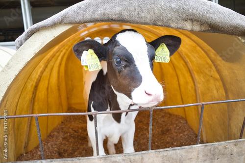 Fotografie, Tablou 北海道 大沼国定公園にある山川牧場で見つけた牛の赤ちゃん