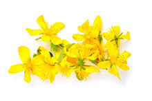 Hypericum Perforatum Or St Johns Wort Flowers Isolated On White Background