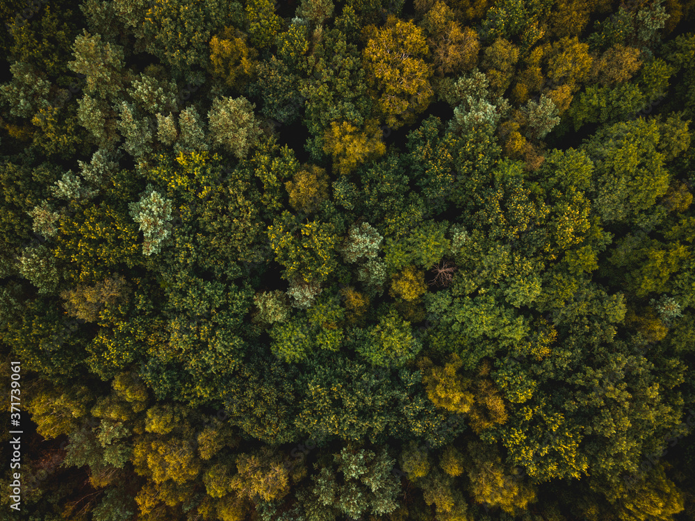Spruce and Pine Trees in Autumnal Forest. Top Down Drone View