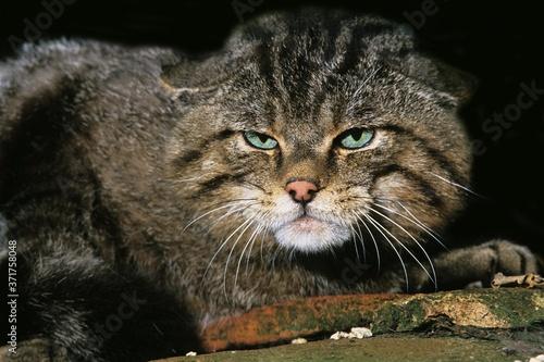 Obraz na plátně European Wildcat, felis silvestris, Portrait of Adult