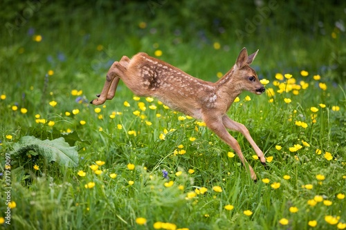 Fotografie, Obraz Roe Deer, capreolus capreolus, Fawn with Flowers, Normandy
